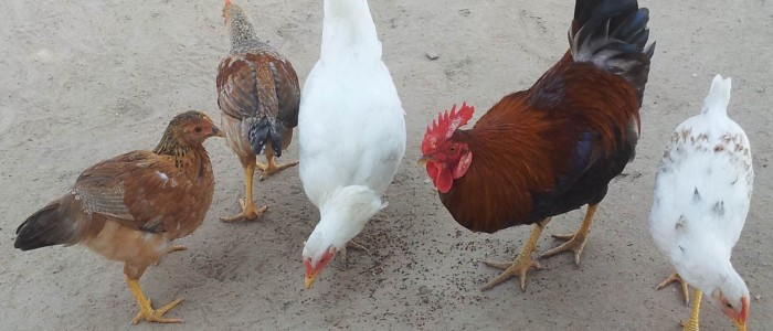 Four hens eat seed from the ground